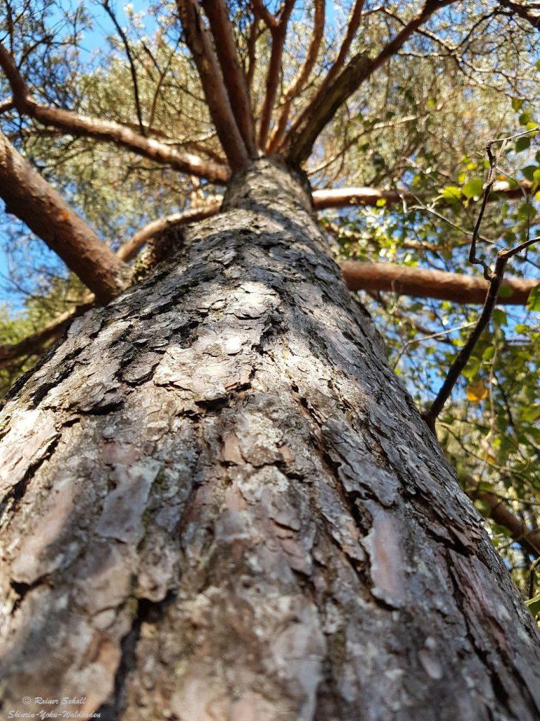 Blick auf eine alte Kiefer, sie könnte uns so manche Geschichte zum Waldbaden erzählen