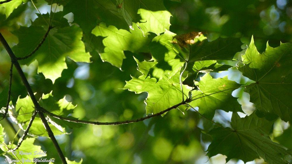 grüne Ahornblätter von Sonnenlicht beschienen