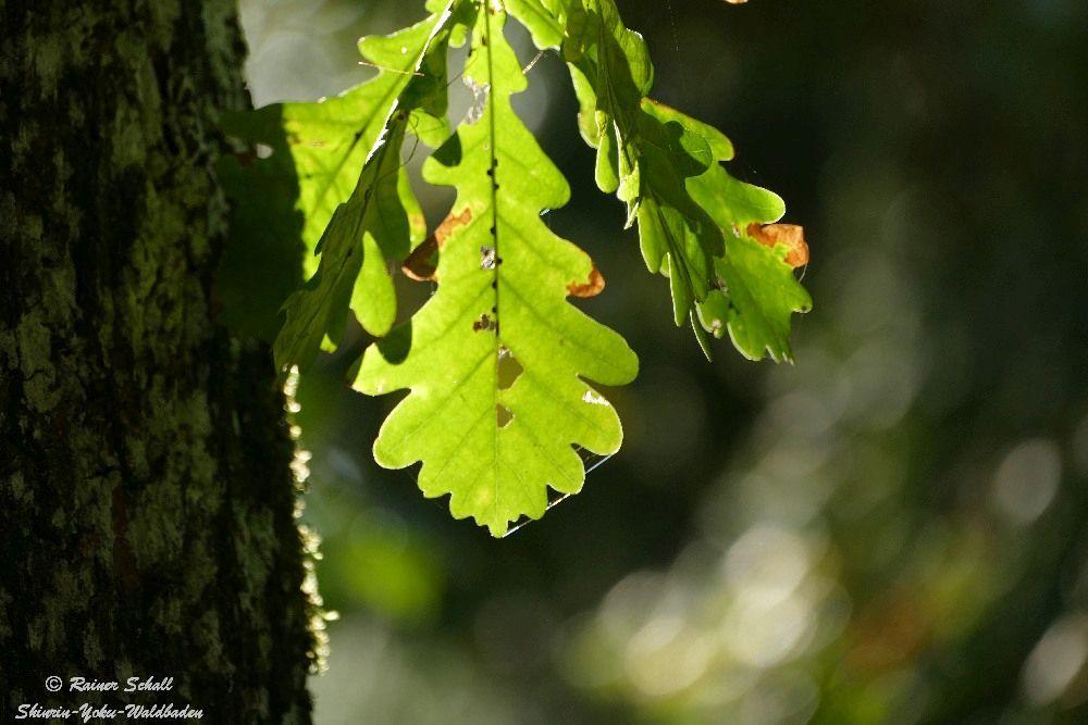 Im Sonnenlicht erscheinen die grünen Blätter der Eiche noch geheimnisvoller
