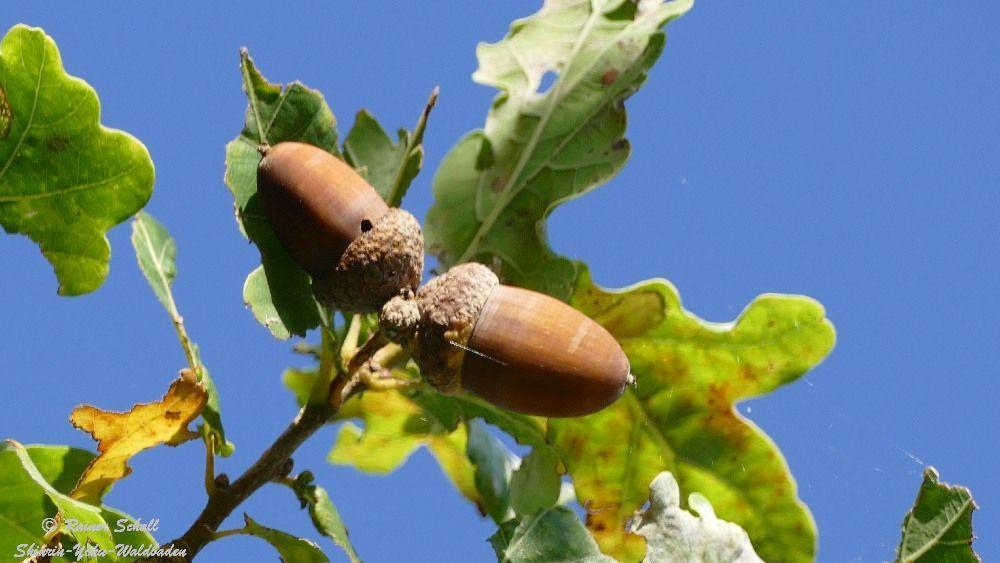 Eicheln sind Früchte von Wald Bäumen und wir erleben sie beim Waldbaden